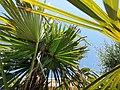 Dégats des larves de Papillon Paysandisia archon sur les palmiers.jpg
