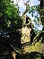 Dąb w Chocimiu (Park Krajobrazowy Góry Opawskie) 06.jpg