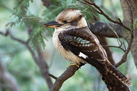 """Laughing Kookaburra (Dacelo novaeguineae) perched on a Silver Wattle (Acacia dealbata), Waterworks Reserve, Hobart, Tasmania, Australia"""