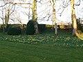 Daffodils at Tyddyn Llan - geograph.org.uk - 699514.jpg