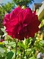 Dahlia Flowers (7).jpg