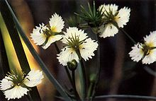 Damasonium californicum