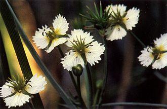 Damasonium - Damasonium californicum