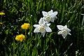 Dandelions Daffodils (35472234).jpeg