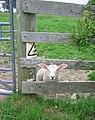 Danger, electric lamb - geograph.org.uk - 192055.jpg