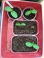 Dar cucumber seedlings.jpg