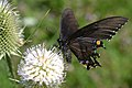 Dark Morph Eastern Tiger Swallowtail (Papilio glaucus) (14898755246).jpg