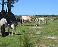 Dartmoor ponies and foals - geograph.org.uk - 208442.jpg