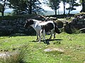 Dartmoor pony and foal - geograph.org.uk - 208441.jpg