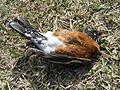 Dead American robin.jpg