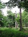 Dead Trees on the Boundary Bank of Thunderdell Wood, Ashridge - geograph.org.uk - 1378658.jpg