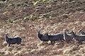 Deer, Tonelagee.jpg