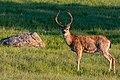 Deer on the hillside in Santa Teresa Park - Flickr - donjd2.jpg