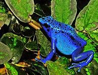 Dendrobates azureus (Dendrobates tinctorius) Edit.jpg