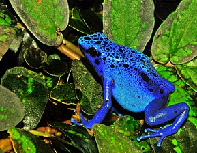 Description de l'image Dendrobates azureus (Dendrobates tinctorius) Edit.jpg.