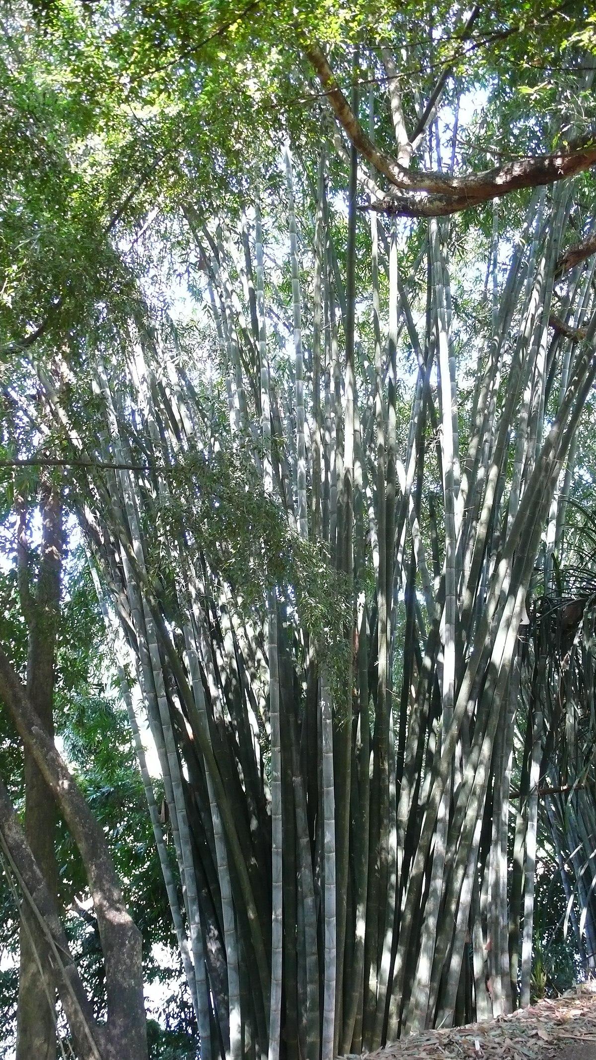 Dendrocalamus giganteus wikipedia for Semi bambu gigante