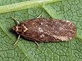 Depressaria badiella (40146829764).jpg
