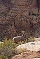 Desert bighorn sheep often blend into their surroundings, but can be spotted by the careful eye. (78c879b3-7b80-41de-bb14-eeba66b9d647).jpg
