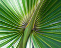 Detail on a palm frond (8297623365).jpg