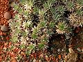Deuterocohnia brevifolia Jardin des Plantes.jpg