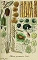 Deutschlands flora in abbildungen nach der natur (1832) (20702775469).jpg
