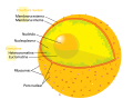 Diagram human cell nucleus es.svg