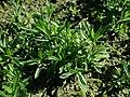 Dianthus deltoides 2019-09-22 4480.jpg