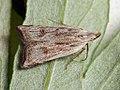 Dichomeris rasilella (26011133307).jpg