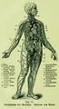 Die Frau als Hausärztin (1911) 014 Gefäßsystem des Menschen Arterien und Venen.png