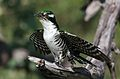 Diederik cuckoo, Chrysococcyx caprius, at Mapungubwe National Park, Limpopo, South Africa - male (30015268766).jpg