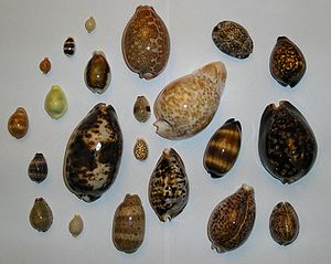 Cowry - Shells of various species of cowry; all but one have their anterior ends pointing towards the top of this image.