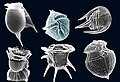 Dinoflagellates.jpg
