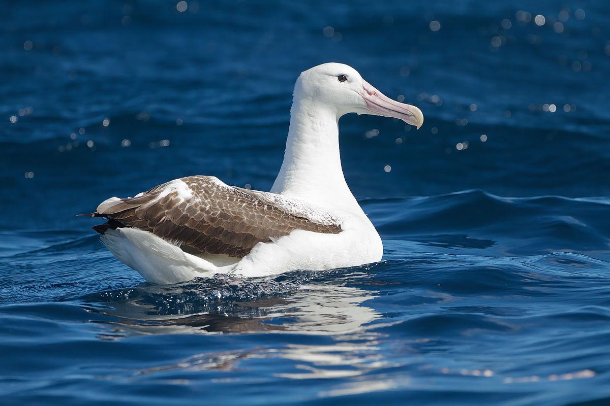 Southern royal albatro...