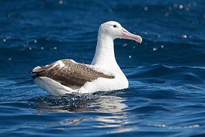 Southern royal albatross - East of Tasmania