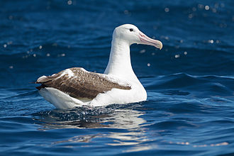 Southern royal albatross - East of Tasmania