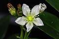 Dionaea muscipula flower 1.JPG