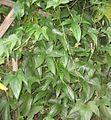 Dioscorea trifida crop.jpg