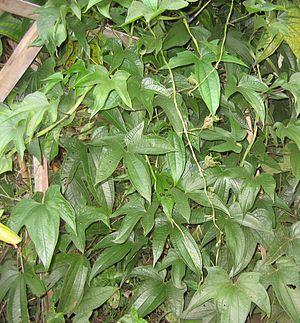 Dioscorea trifida - Image: Dioscorea trifida crop