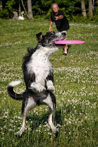Disc dog - A dog catching a disc in the air.