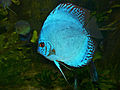 Discus (Symphysodon aequifasciatus) blue hybrid (13532960545).jpg