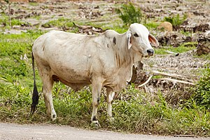 District-Kunak Sabah Cow-02.jpg