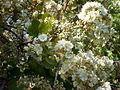 Dombeya rotundifolia 2c.JPG