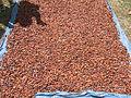 Dominica cocoa4.JPG