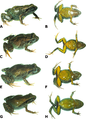 Dorsolateral and ventral views of four paratypes of Psychrophrynella chirihampatu sp. n. showing variation in dorsal and ventral coloration.png