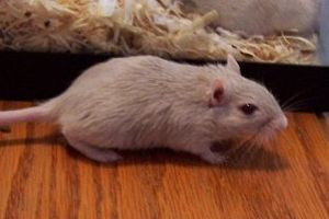 English: Dove gerbils have light grey fur and ...