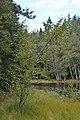 Downy Birch (Betula pubescens) - Oslo, Norway 2020-09-02 (05).jpg