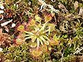 Drosera rotundifolia 130405.jpg