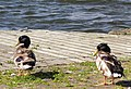 Ducks, Kinnego Marina - geograph.org.uk - 1923308.jpg