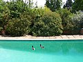 Ducks in Swimming Pool, Pashley Manor Gardens - geograph.org.uk - 999653.jpg