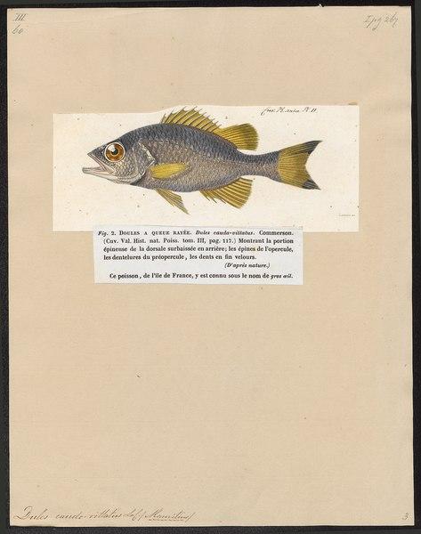 File:Dules caudavittatus - 1817-1841 - Print - Iconographia Zoologica - Special Collections University of Amsterdam - UBA01 IZ13000096.tif